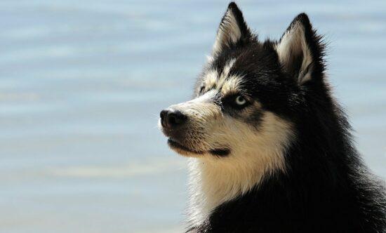 Rasy psów – Alaskan Malamute