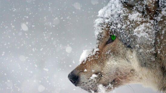 Walka z wilkami